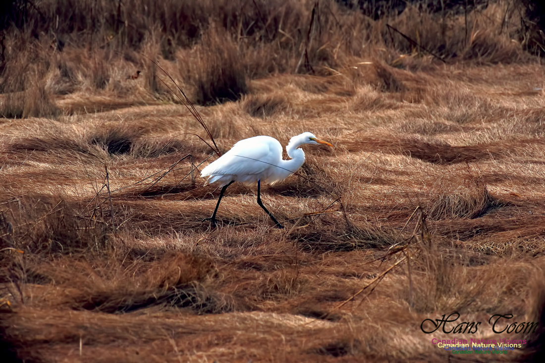 Great Egret 1006