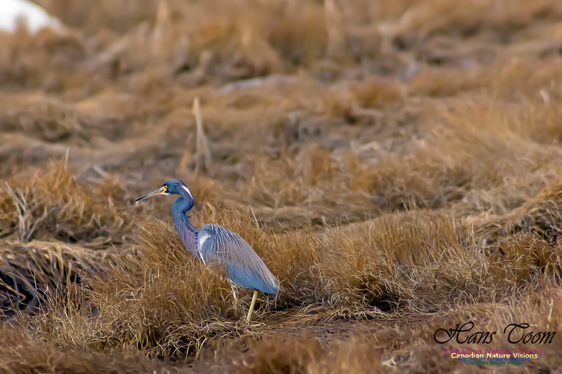 Tricoloured Heron 4