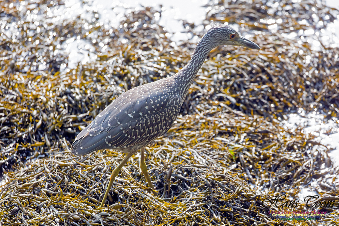 Yellow-crowned Night Heron 10