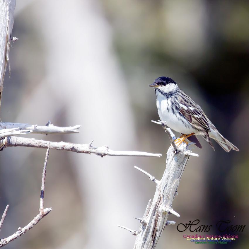 Blackpoll Warbler 8