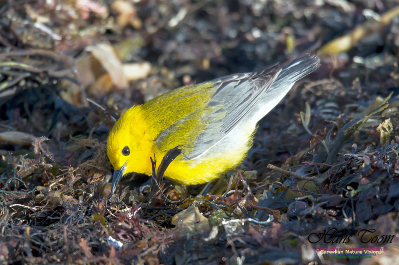 Prothonotary Warbler 4