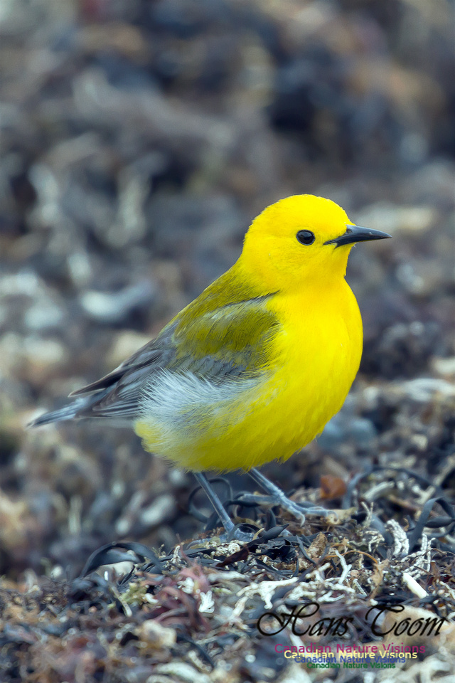 Prothonotary Warbler 23