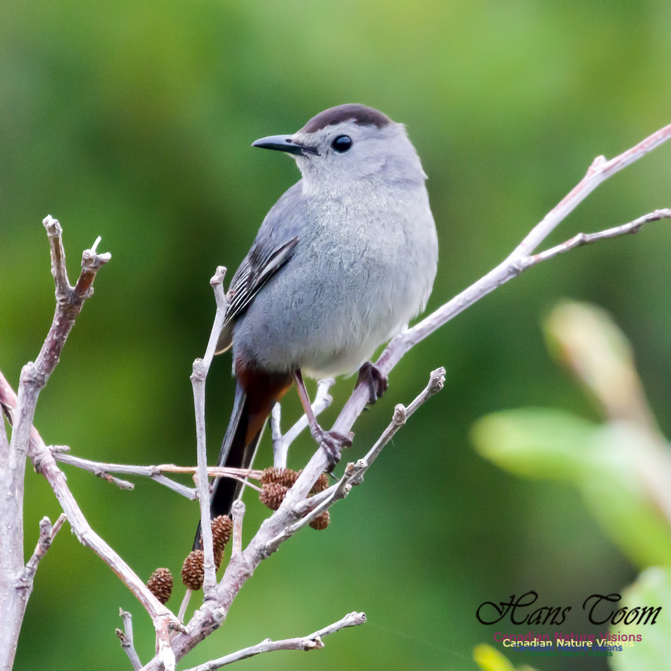 Grey Catbird 1