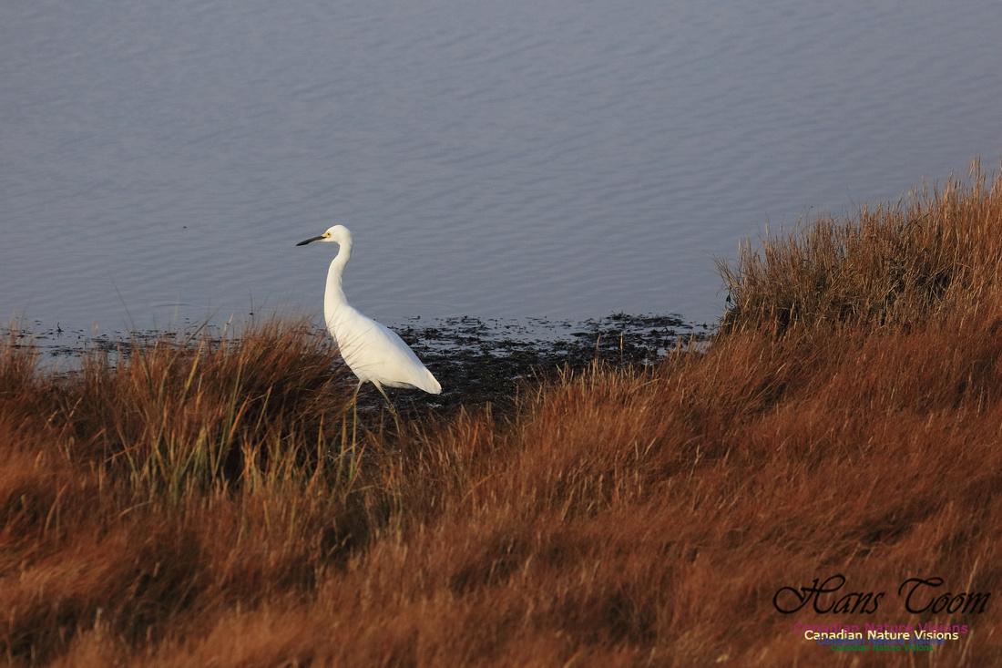 Snowy Egret 1011