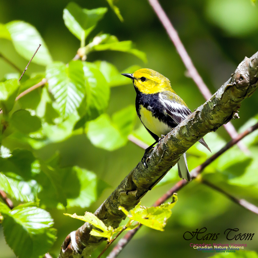 Black-throated Green Warbler 1