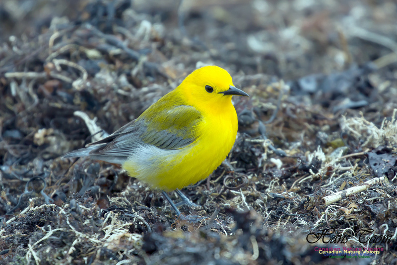 Prothonotary Warbler 19