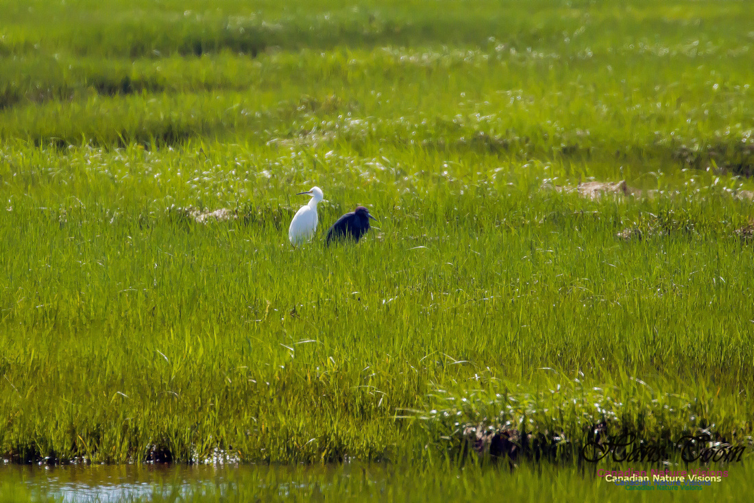 Snowy Egret and Little Blue Heron 1
