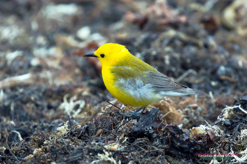 Prothonotary Warbler 18