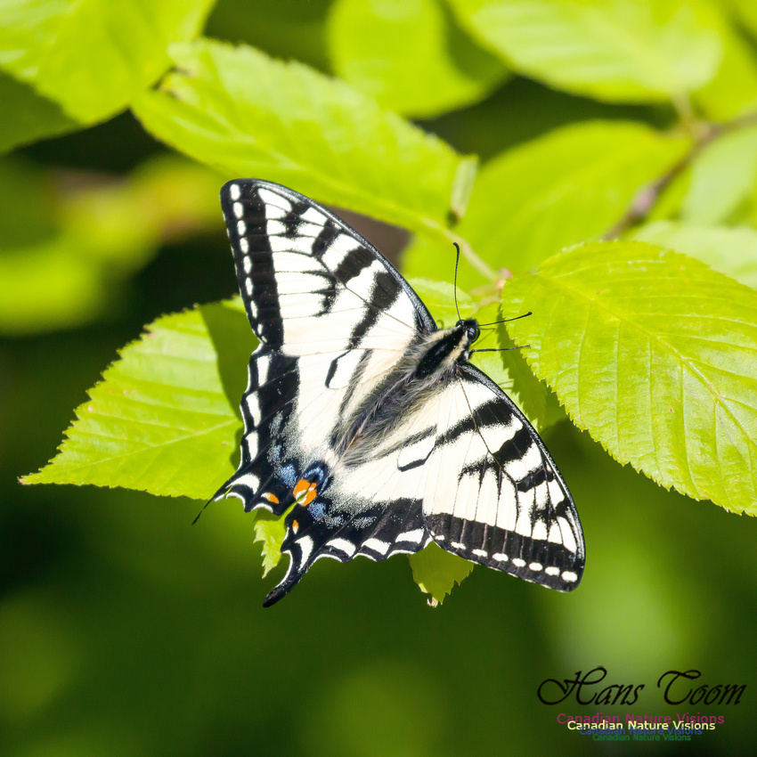 Canadian Tiger Swallowtail 2