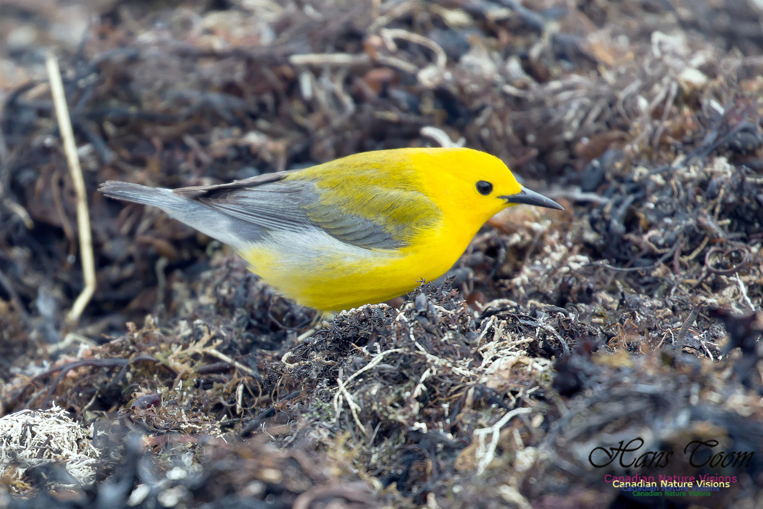 Prothonotary Warbler 20