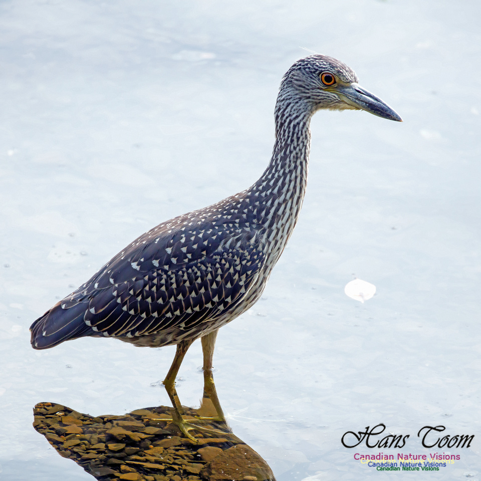 Yellow-crowned Night Heron 16