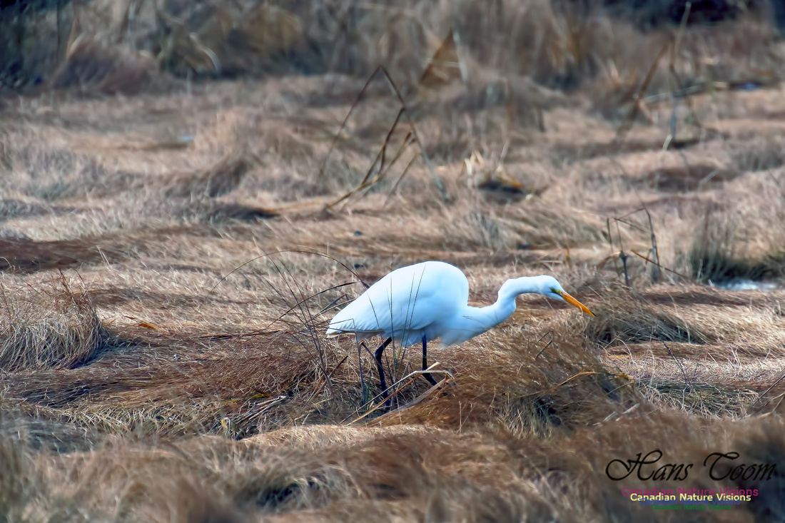 Great Egret 1002