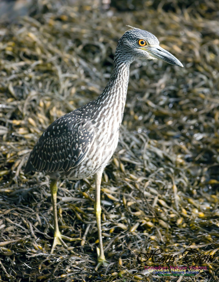 Yellow-crowned Night Heron 7