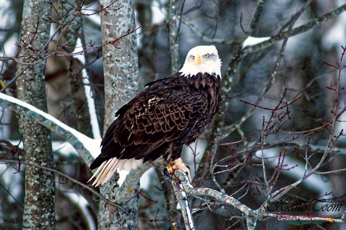 Bald Eagle 18