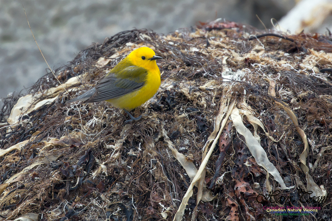 Prothonotary Warbler 36