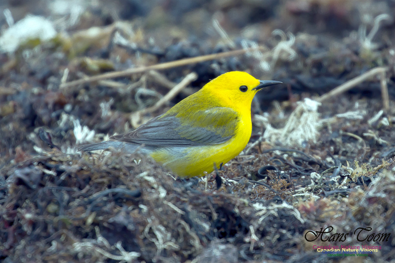 Prothonotary Warbler 33