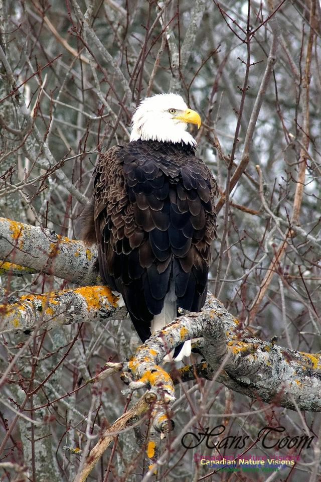 Bald Eagle Resting 2