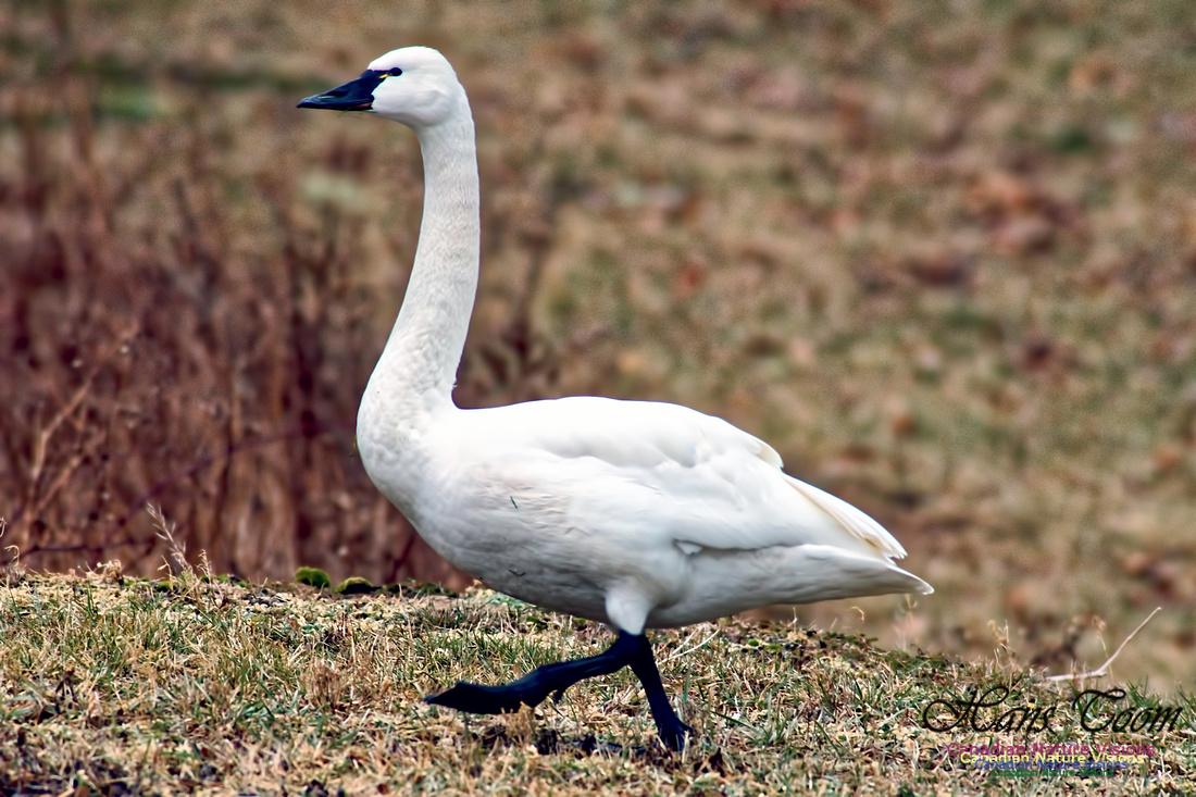 Tundra Swan 15