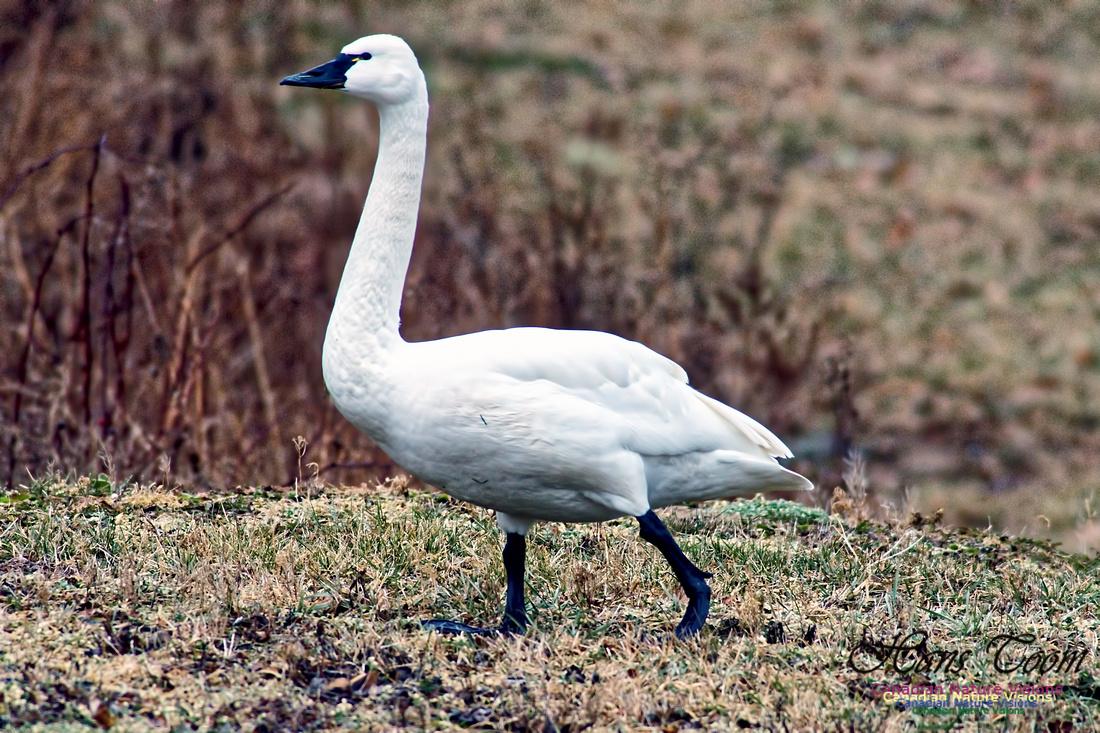Tundra Swan 16