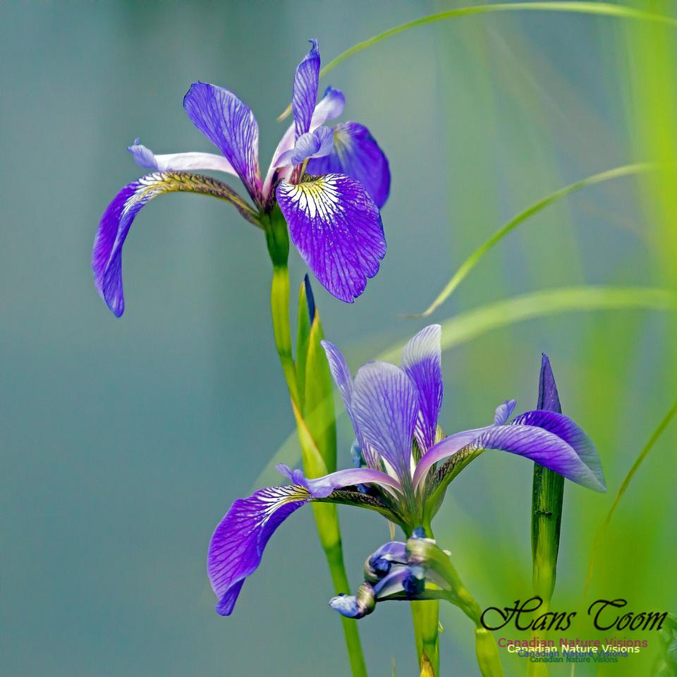 Blue Flag Iris 2