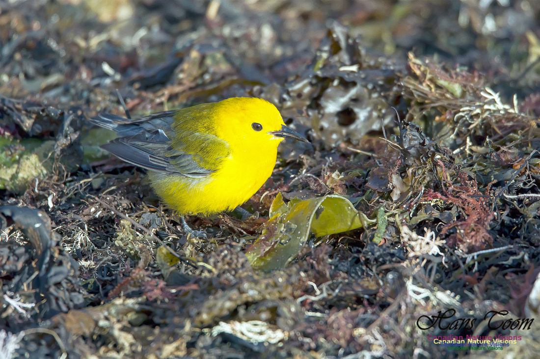 Prothonotary Warbler 11