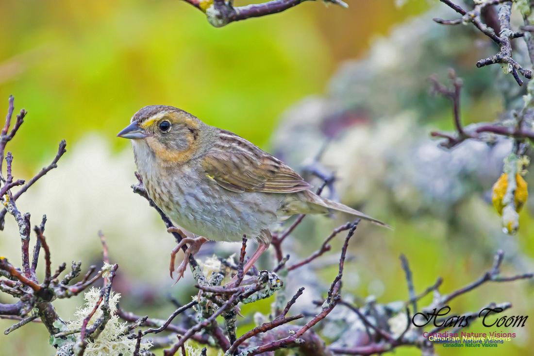 Nelson's Sparrow 2