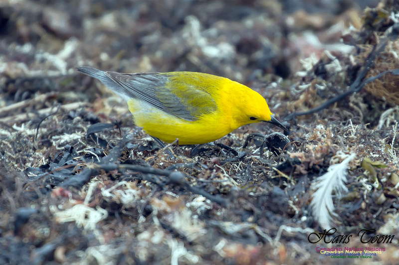 Prothonotary Warbler 32