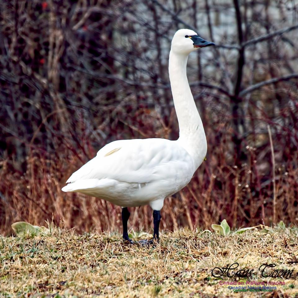 Tundra Swan 10