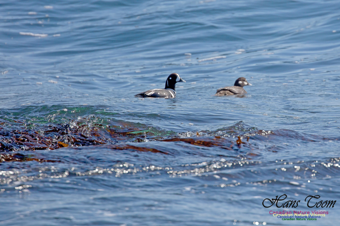 Harlequin Duck 4