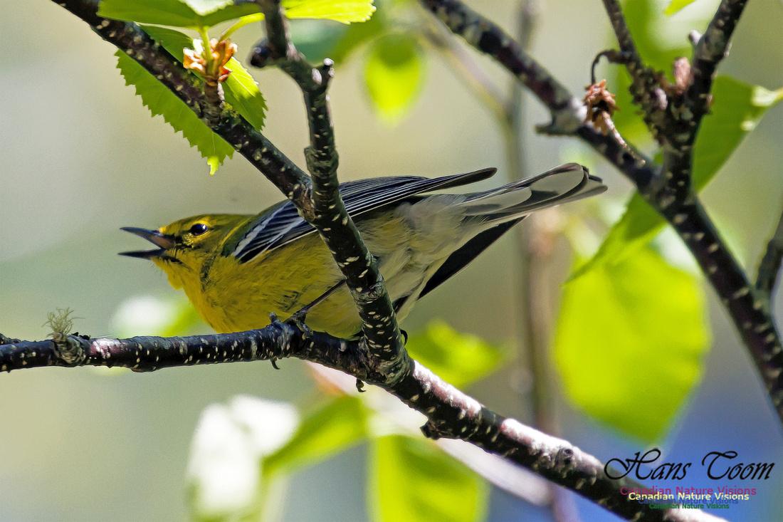 Pine Warbler 1