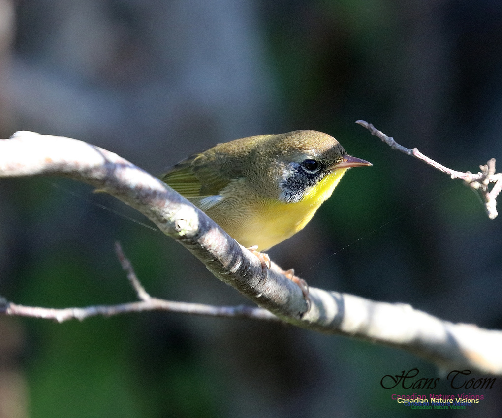 Common Yellowthroat 9