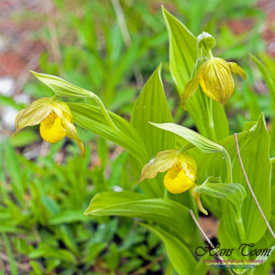 Yellow Ladies's Slipper Orchid 2