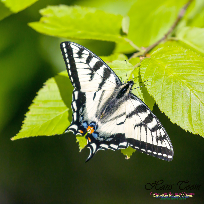 Canadian Tiger Swallowtail 1