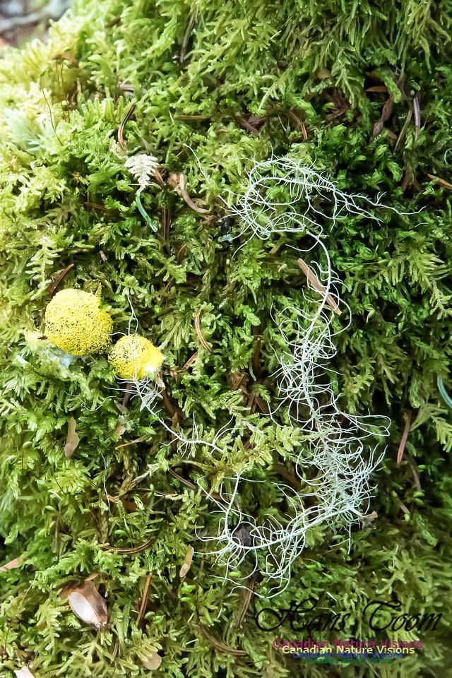 Moss sp.