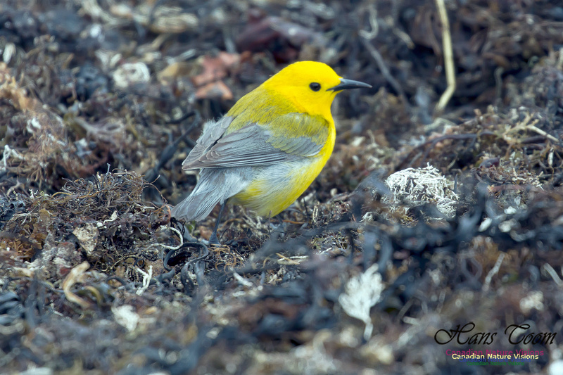 Prothonotary Warbler 21