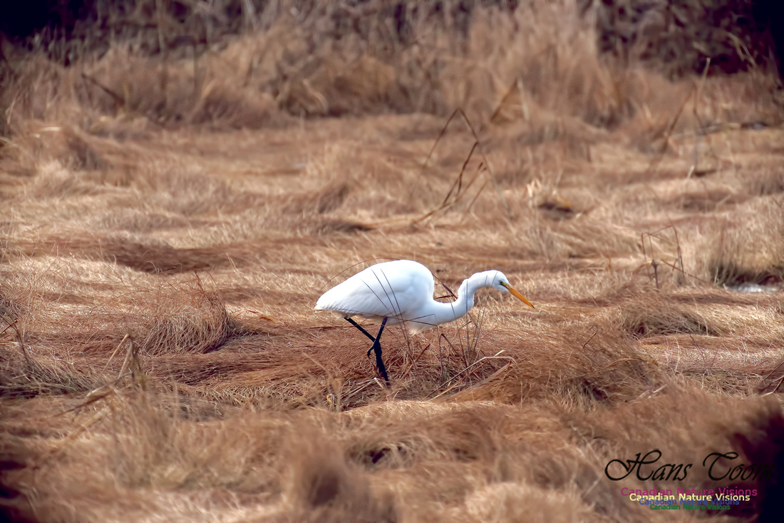 Great Egret 1005