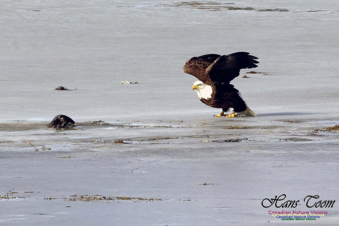 Bald Eagle Eyeing River Otter With Eel 2