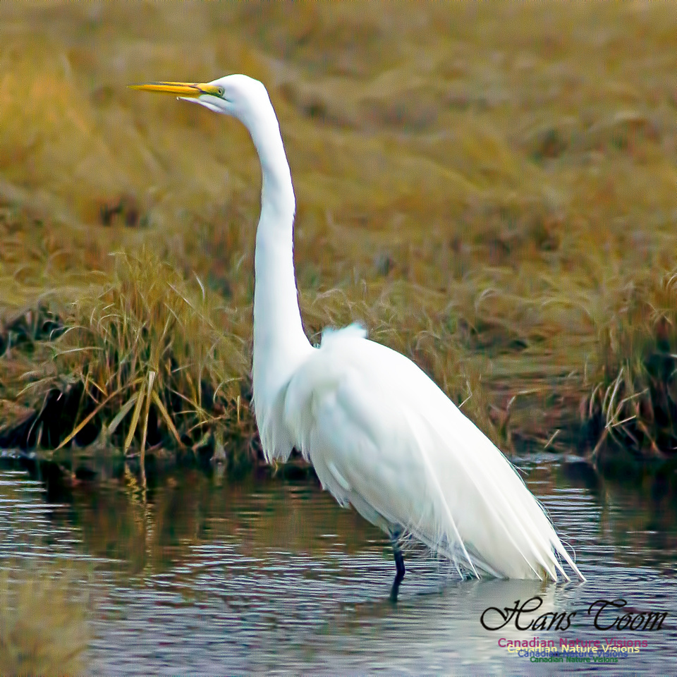 Great Egret 8