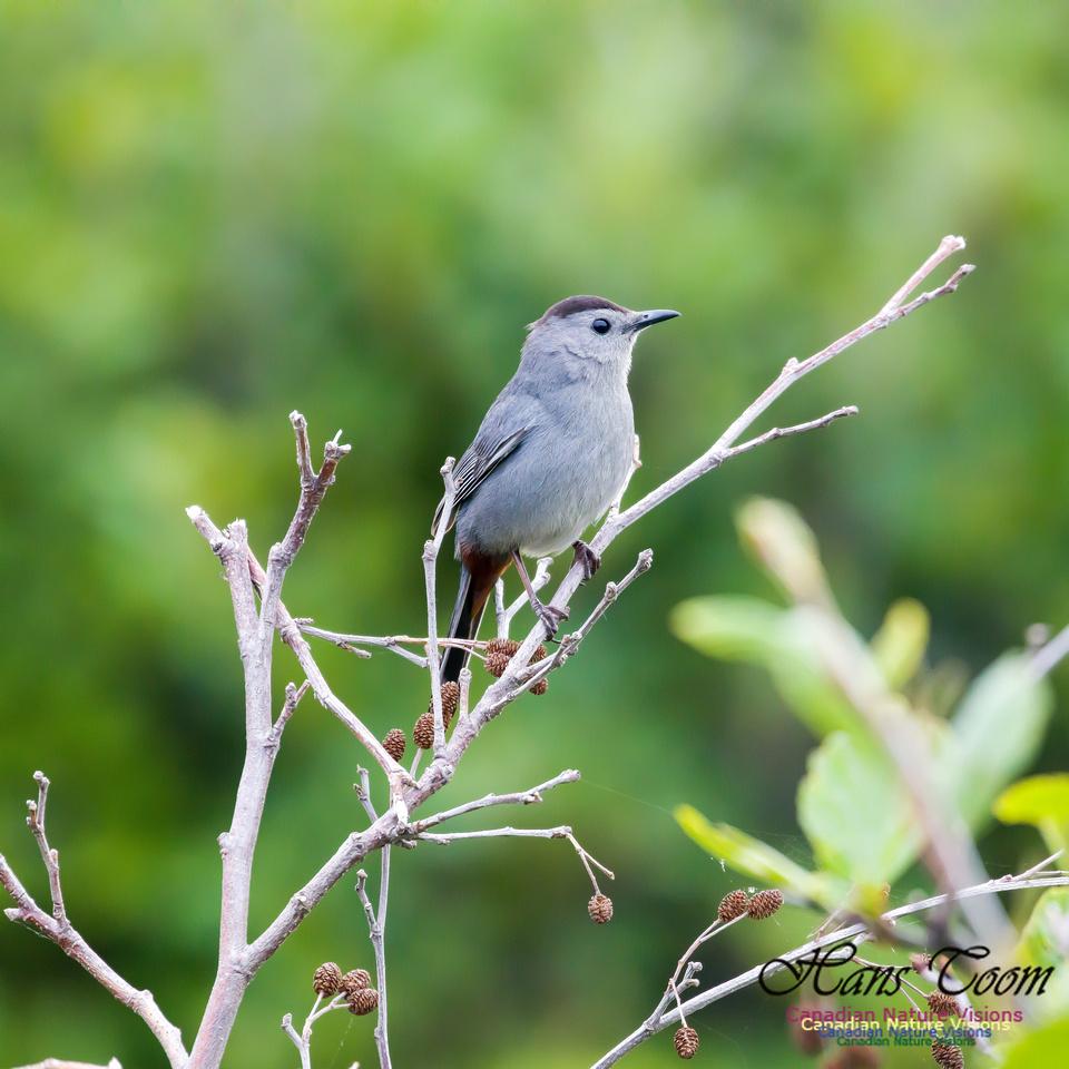 Grey Catbird 4.