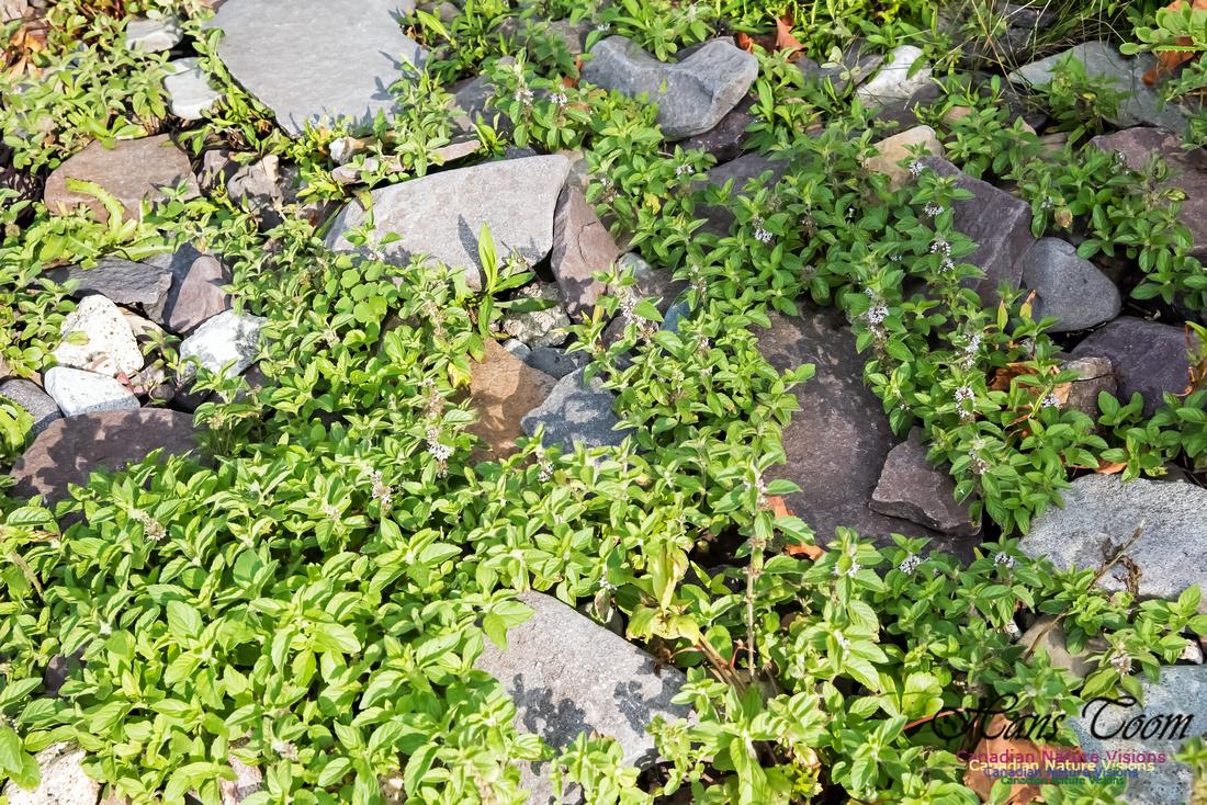 Mint-Mentha arvensis