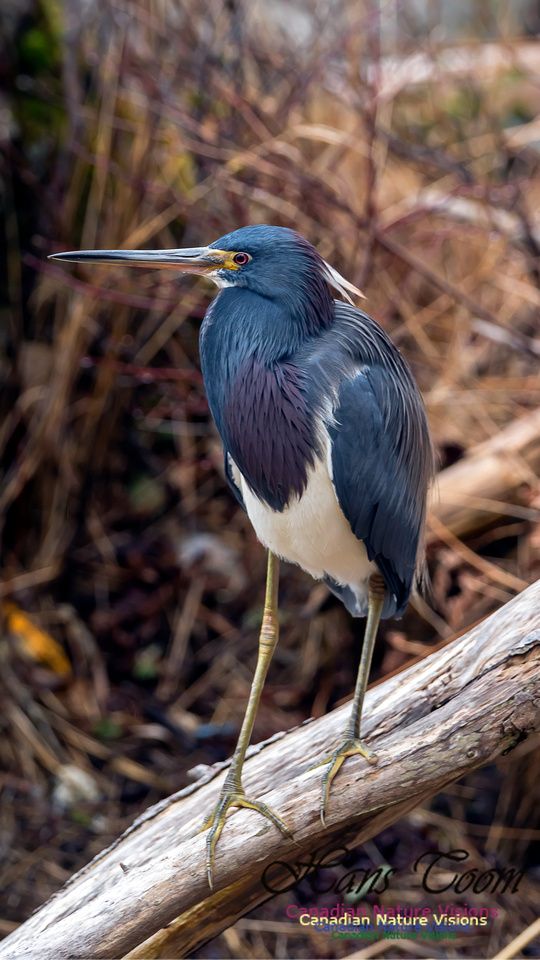 Tricoloured Heron 16-1
