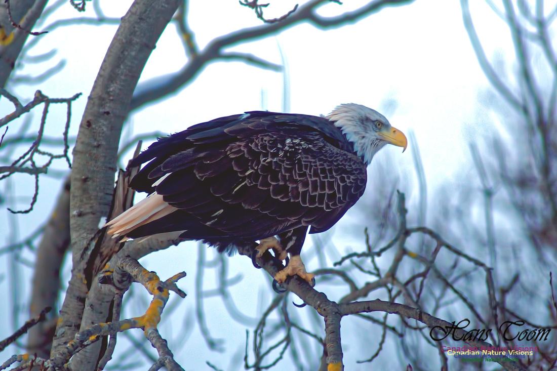 Bald Eagle 17