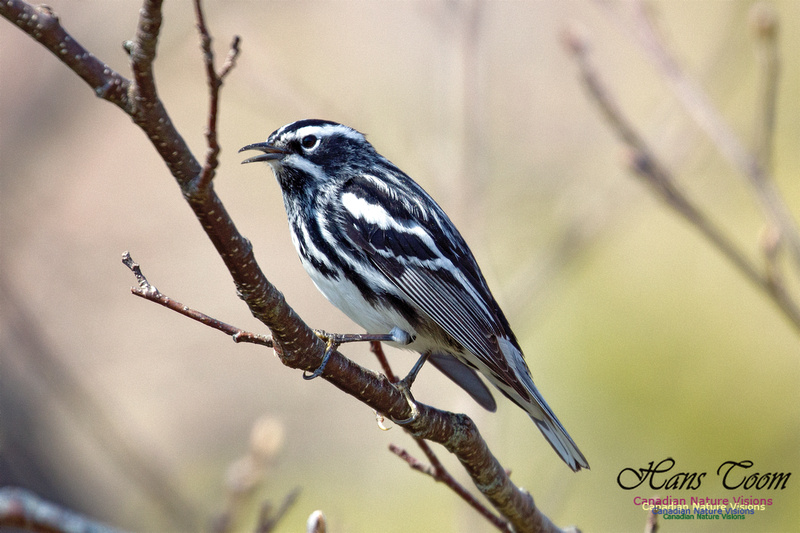 Black-and-White Warbler 2