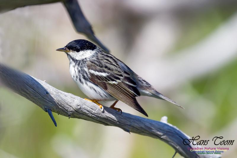 Blackpoll Warbler 12