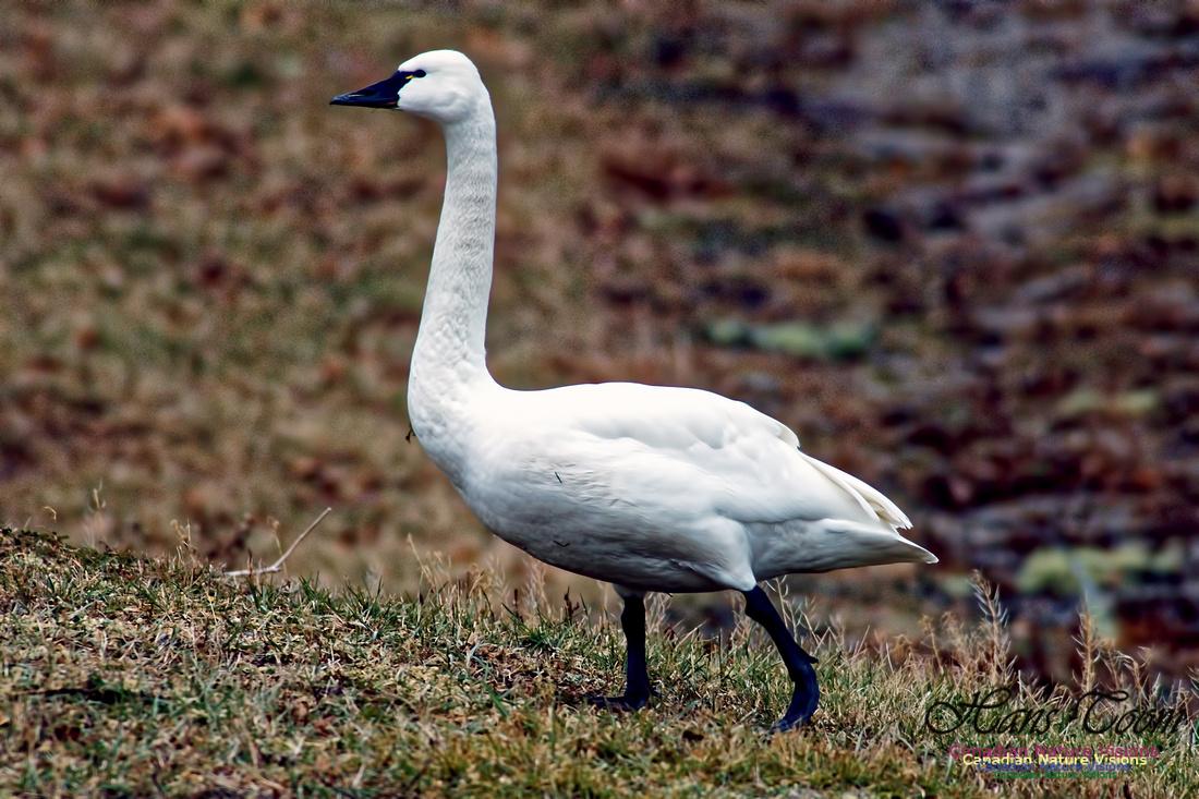 Tundra Swan 6