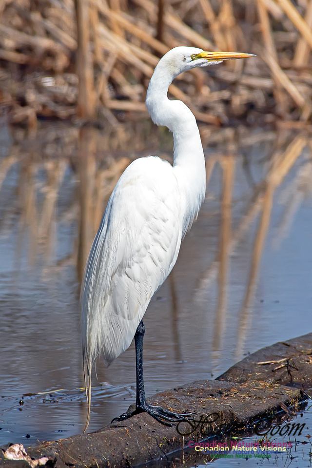 Great Egret 8