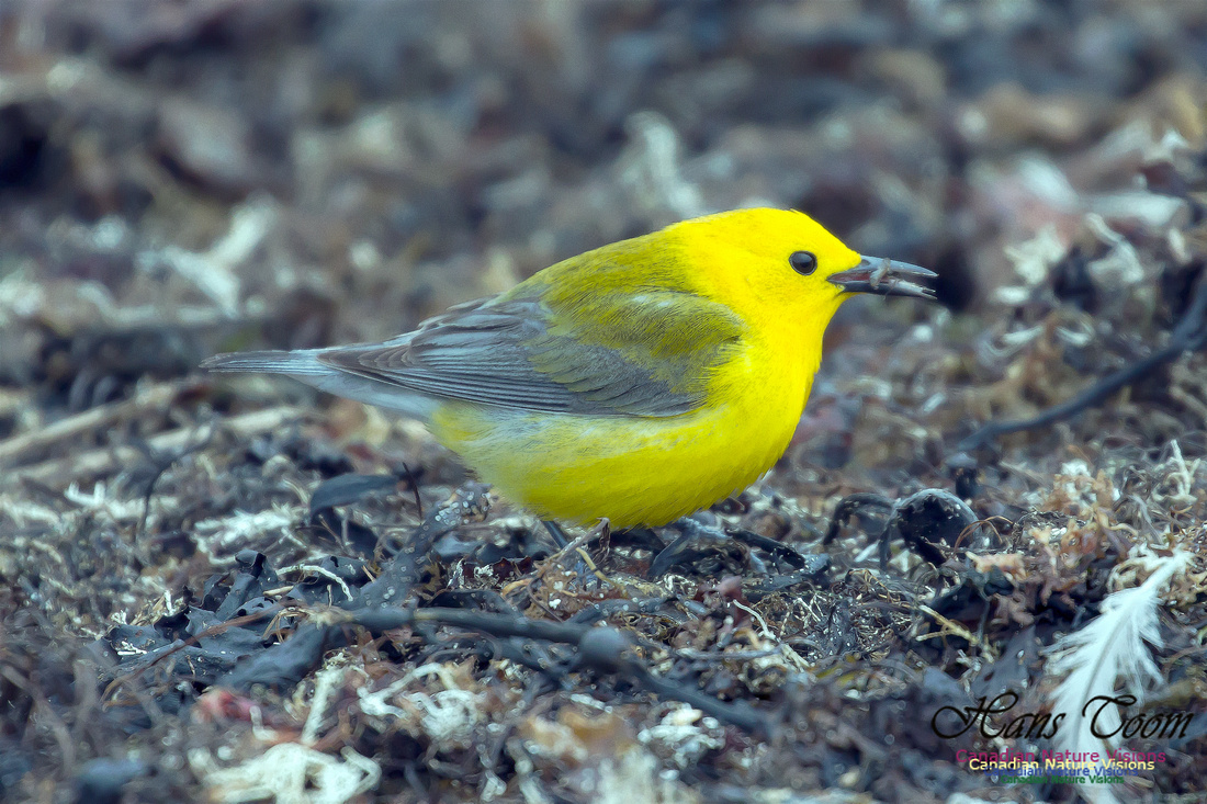 Prothonotary Warbler 31