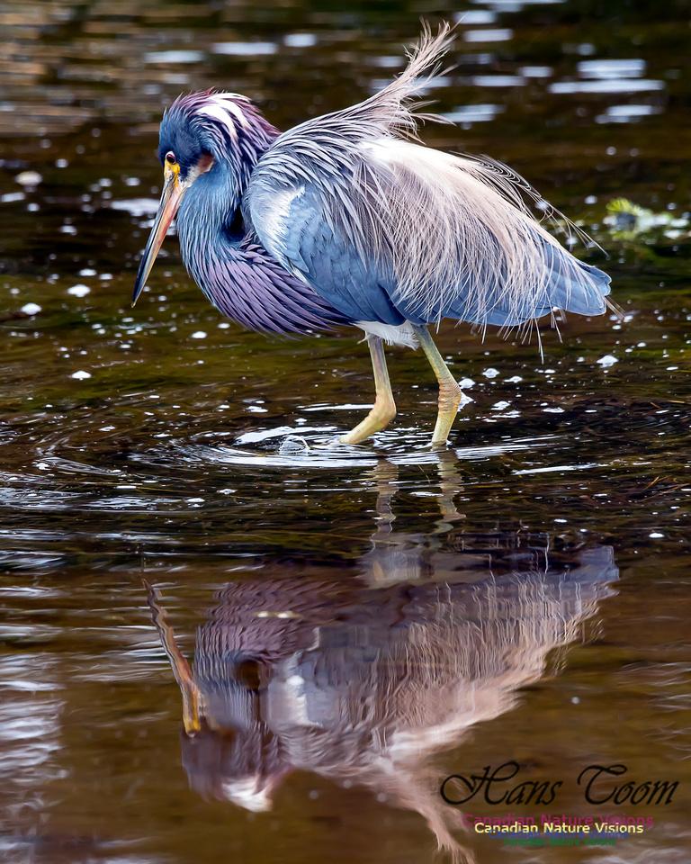Tricoloured Heron 67