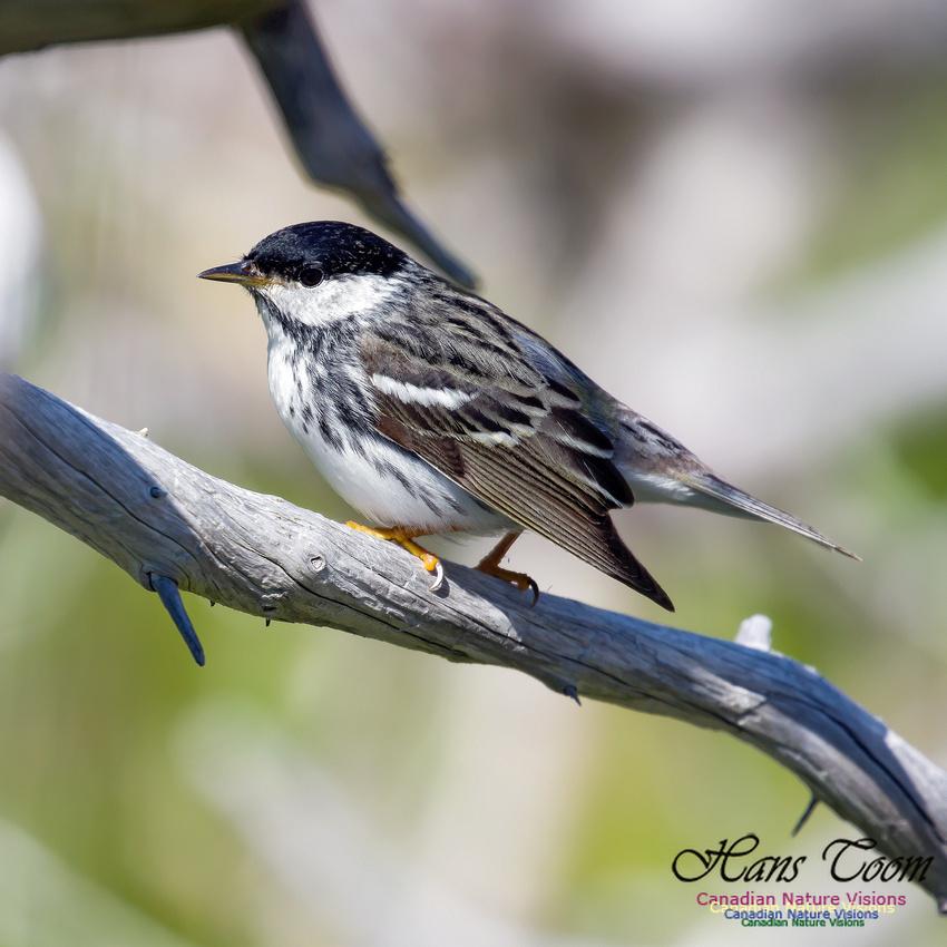 Blackpoll Warbler 13