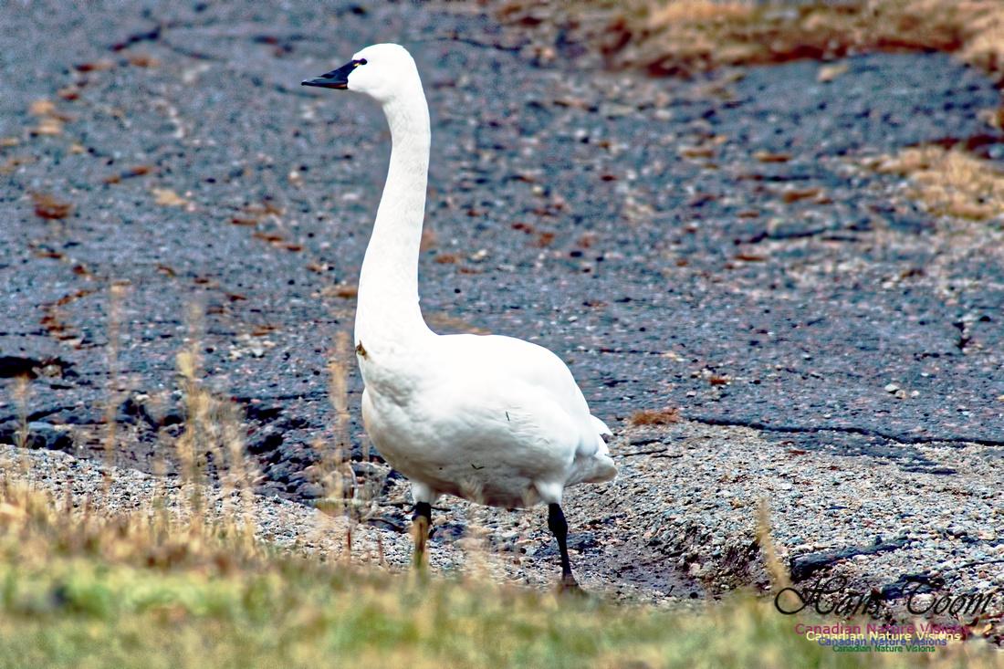 Tundra Swan 12